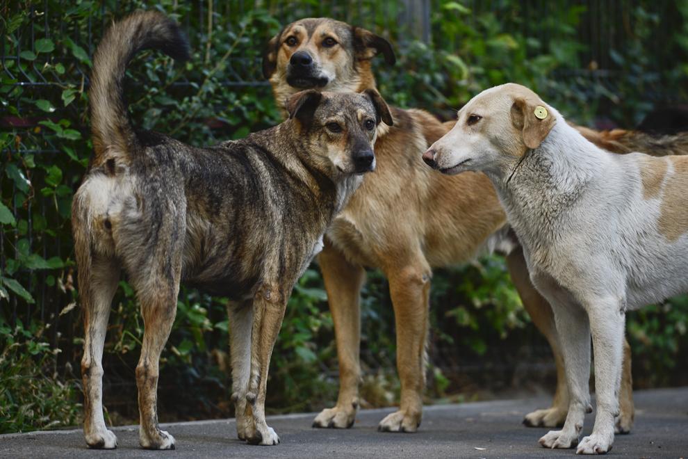 Trei câini maidanezi pot fi văzuţi în zona Pantelimon-Vergului, în Bucureşti, joi, 5 septembrie 2013.