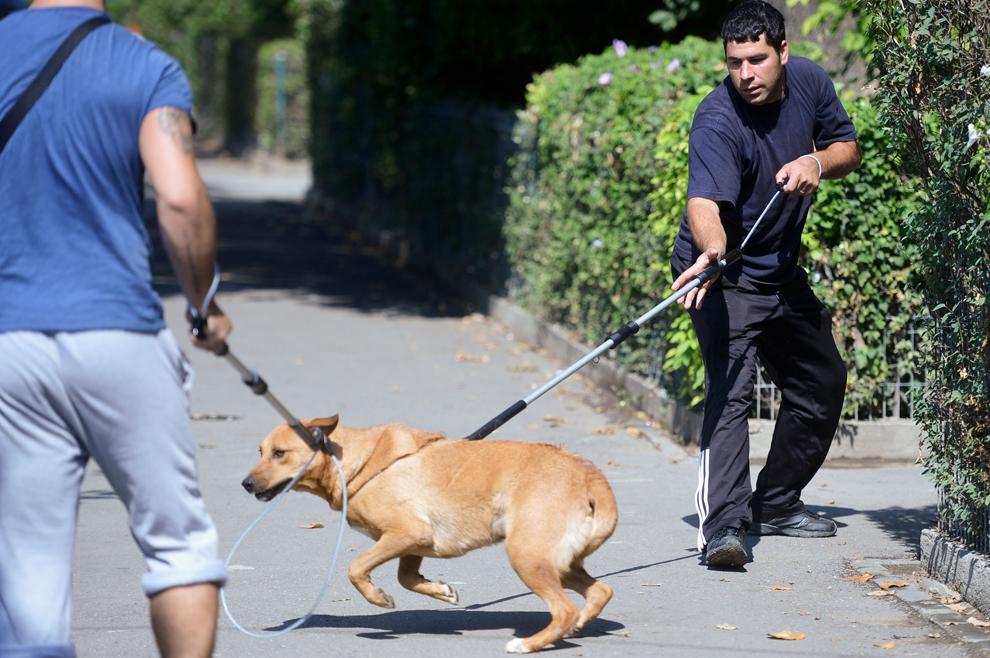 Un câine este luat de hingheri, în Bucureşti, marţi, 10 septembrie 2013.