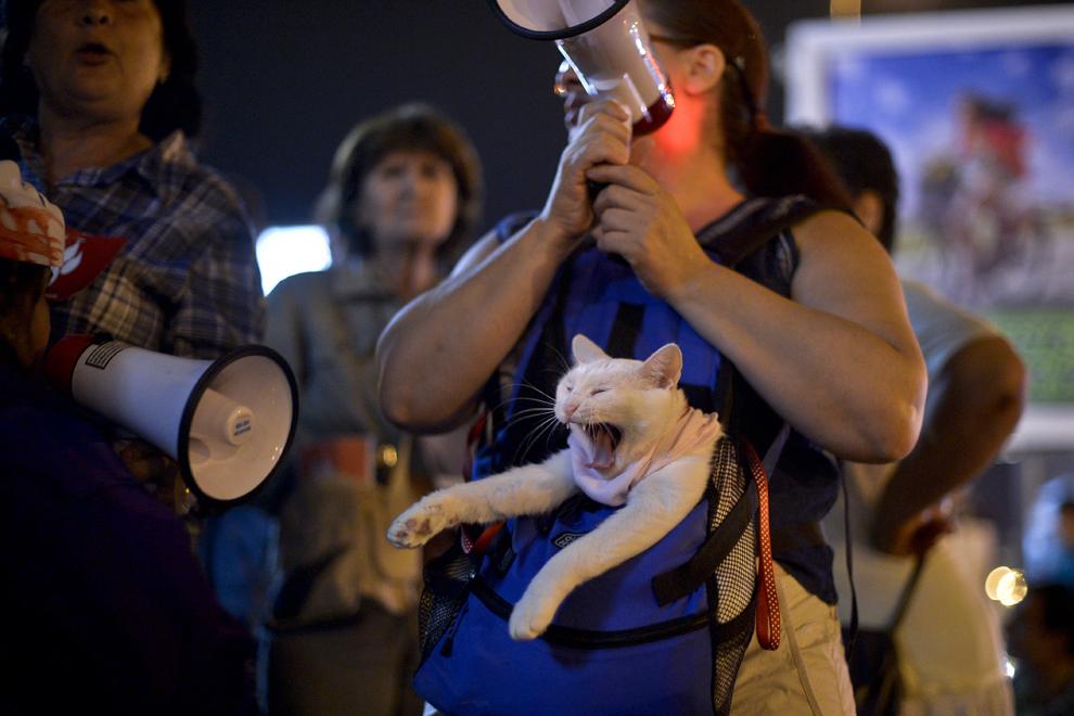 O pisică, ţinută în geantă de o femeie, cască în timpul unui miting împotriva eutanasiei câinilor maidanezi, organizat în Piaţa Universităţii din Bucureşti, vineri, 13 septembrie 2013.