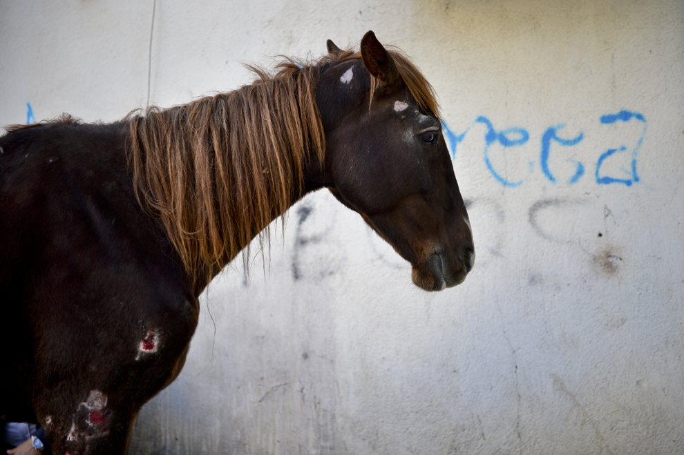 O iapă, ce a fost maltratată de stăpânul său, stă în spatele unui bloc din sectorul 5 din Bucureşti, marţi, 29 octombrie 2013. Un echipaj al secţiei 19 de Poliţie s-a autosesizat cu privire la cazul unui cal, maltratat şi cu urme de violenţă pe corp, căzut în mijlocul străzii, în cartierul Rahova din Bucureşti.