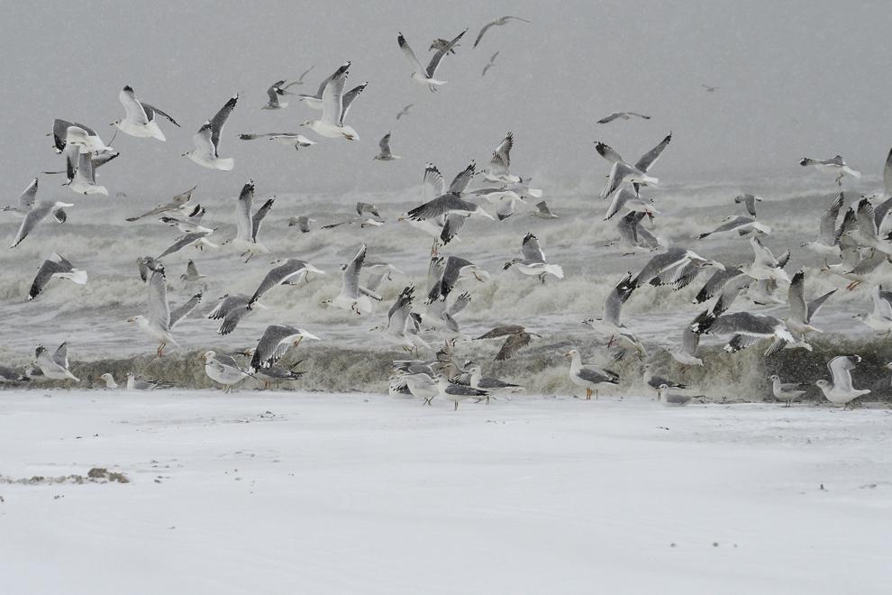 Pescăruşi îşi iau zborul de pe malul Mării Negre, în Constanţa, luni, 27 ianuarie 2014.