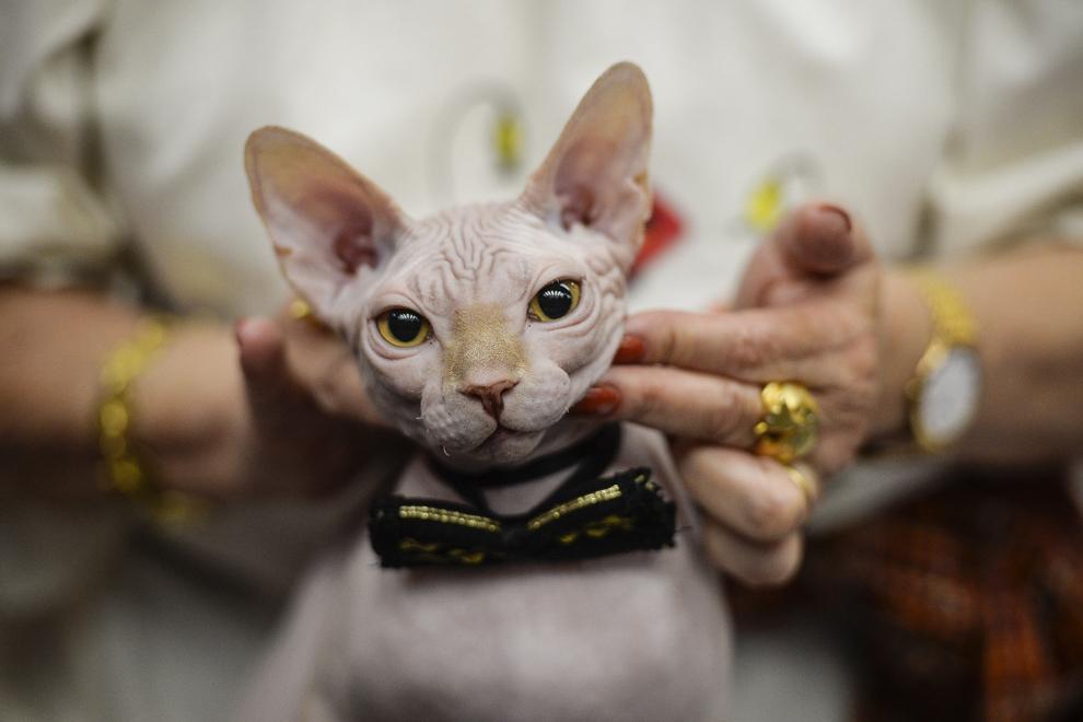 """Kenzo, şase luni, din rasa Canadian Sphynx, este evaluat de Gina Grob, arbitru din Lituania, în prima zi a expoziţiei """"International Spring Cat Show - """" Marţişorul Pisicilor"""", în Bucureşti, sâmbătă, 8 martie 2014."""