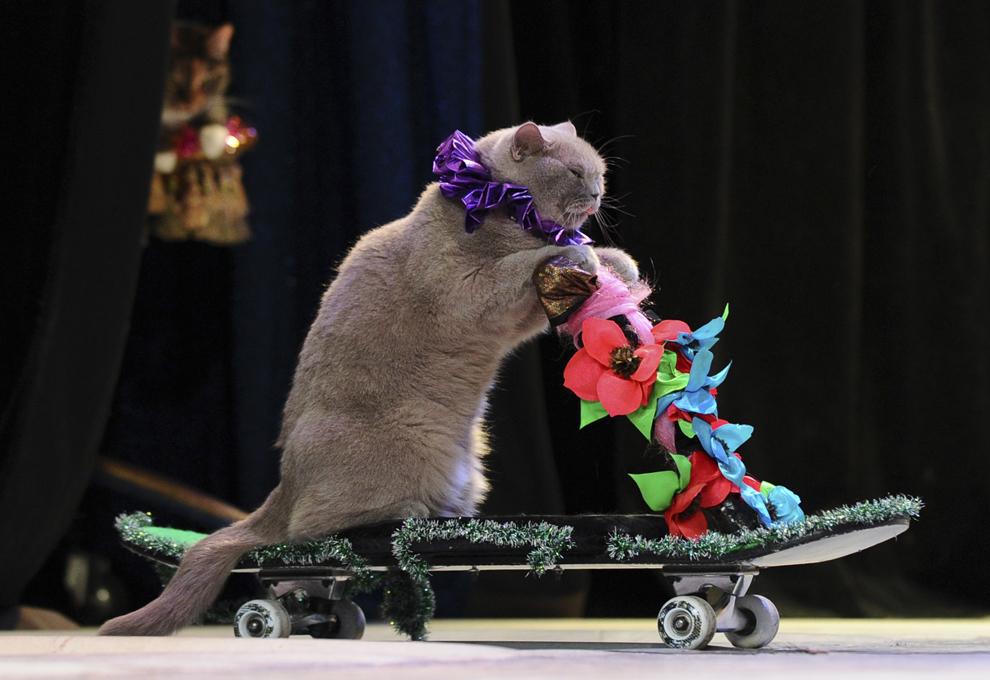 O pisică evoluează într-un spectacol al Teatrului de pisici Moscova,  vineri, 3 mai 2013.