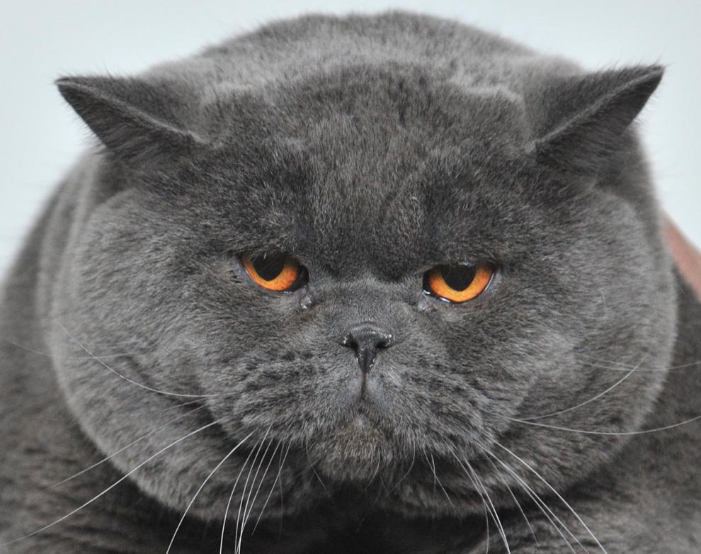 O pisică din rasa British Shorthair este prezentată în cadrul unei expoziţii feline desfăşurate în capitala Kârgâzstanului, Bişkek, sâmbătă, 16 februarie 2013.