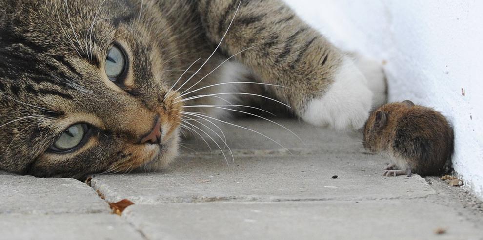 O pisică se joacă cu un şoarece, în Arnsberg, Germania, joi, 8 decembrie 2011. Datorită capacităţii lor de a vâna şoareci şi diverse insecte, pisicile au fost domesticite de om în urmă cu cel puţin 9500 de ani.