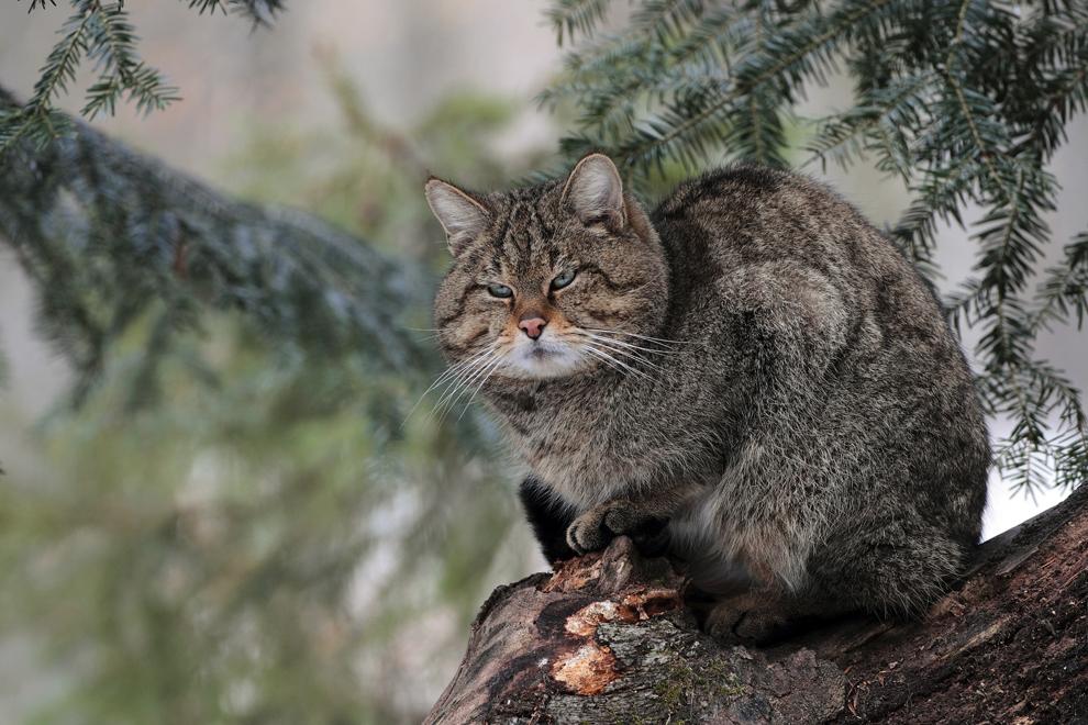 Pisică sălbatică, în Munţii Maramureşului.