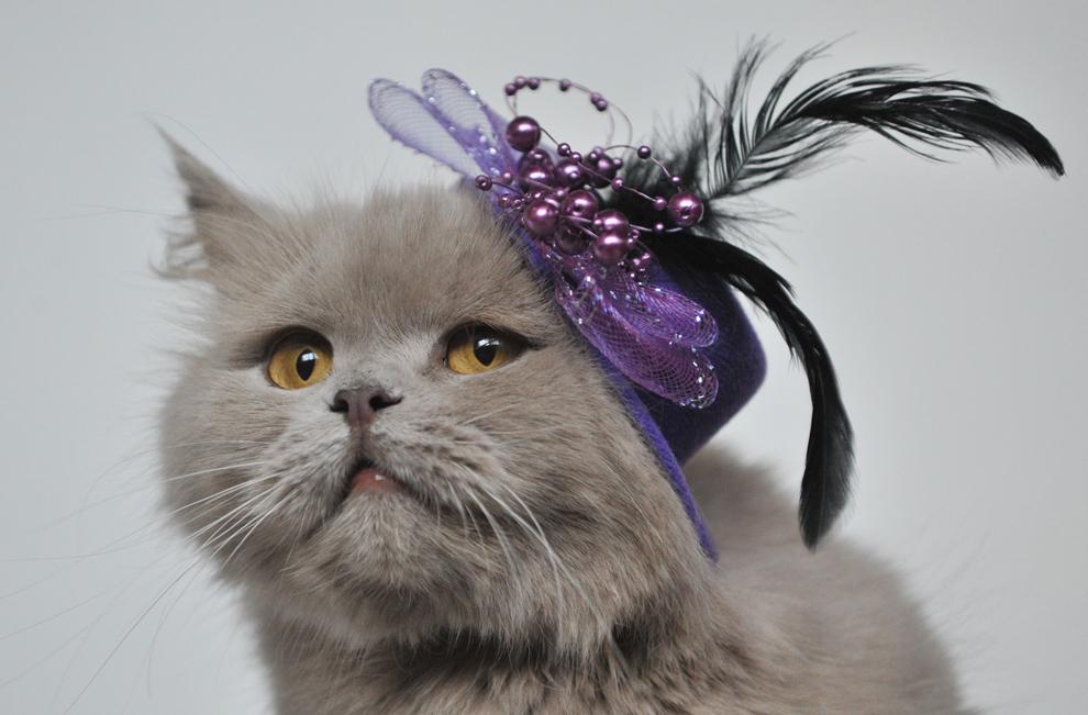 O pisică din rasa Highland Straight, ce poartă o pălărie cu pene, este prezentată în cadrul unei expoziţii feline desfăşurate în capitala Kârgâzstanului, Bişkek, sâmbătă, 16 februarie 2013.