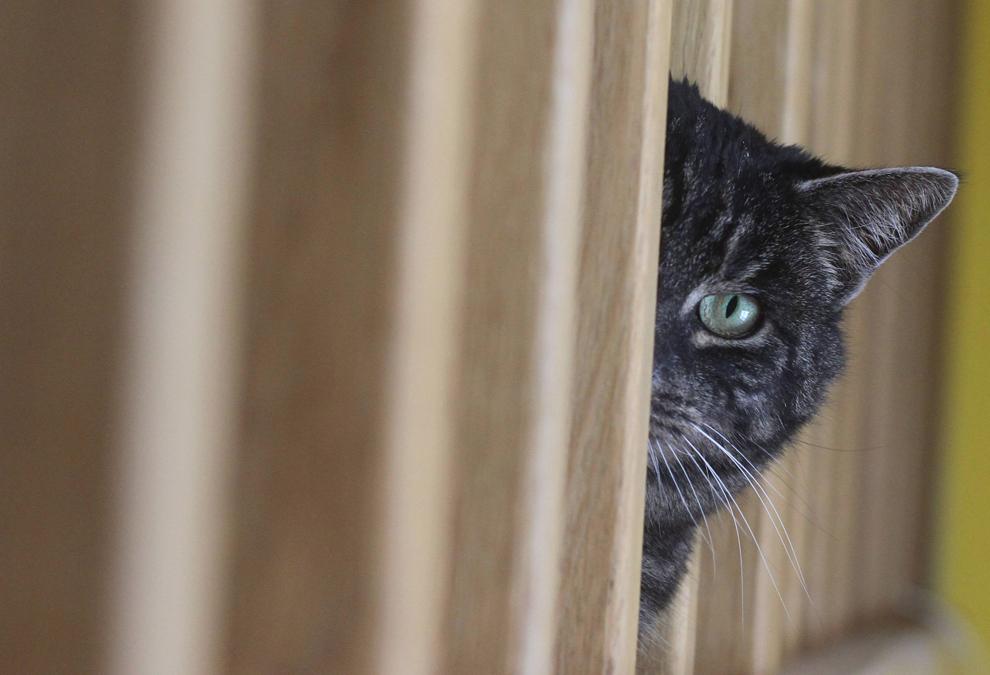 O pisică este fotografiată în timp ce se ascunde în spatele unei perdele, în Varşovia, Polonia, joi, 16 februarie 2012.