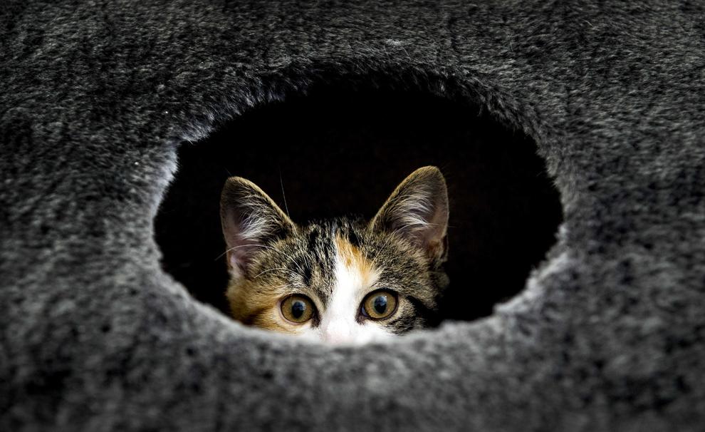 O pisică poate fi vazută ieşind dintr-o gaură la azilul pentru animale din Utrecht, Olanda, marţi, 23 iulie 2013.