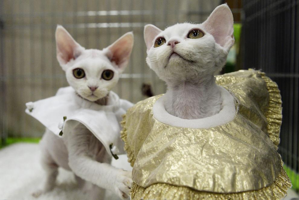 Pisici în costume, cu ocazia unei expoziţii internaţionale de feline, în Neuhausen, Elveţia, sâmbătă, 2 noiembrie 2013.