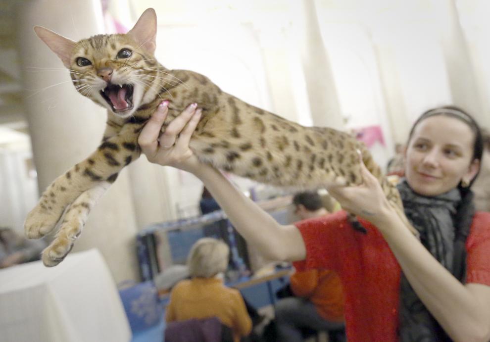 O femeie prezintă pisica ei leopard în timpul unei expoziţii de pisici din Minsk, Belarus, sâmbătă, 8 martie 2014.