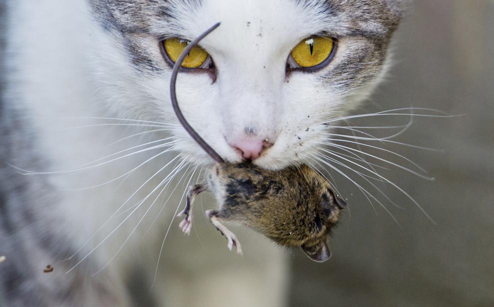 O pisică se joacă cu un şoarece în Hanovra, Germania, luni, 26 mai 2014. După câteva minute, jocul i-a fost fatal micului şoricel.