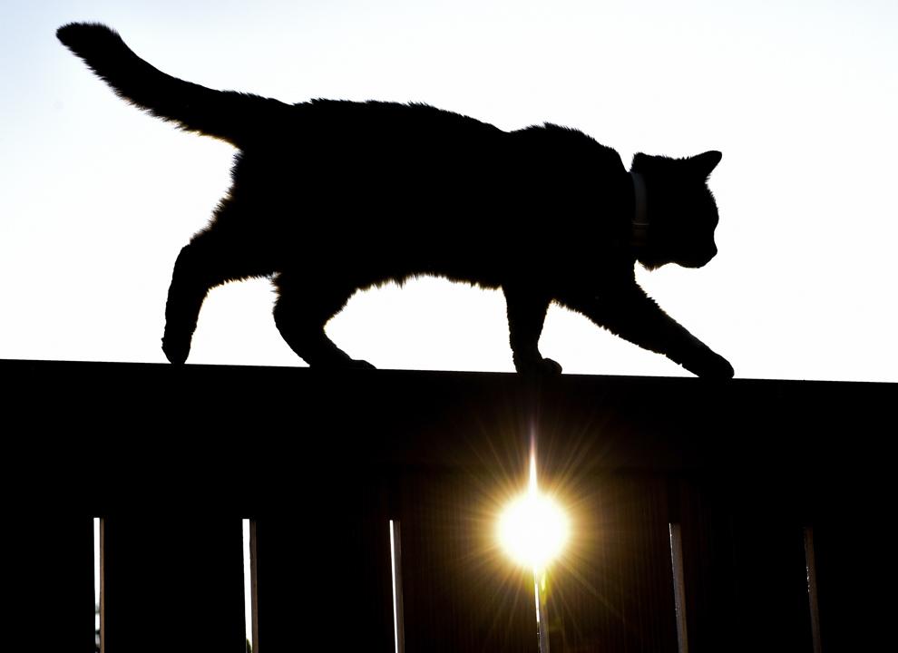 O pisică merge pe un gard în timp ce soarele apune, în Sieversdorf, Germania, vineri, 6 iunie 2014.