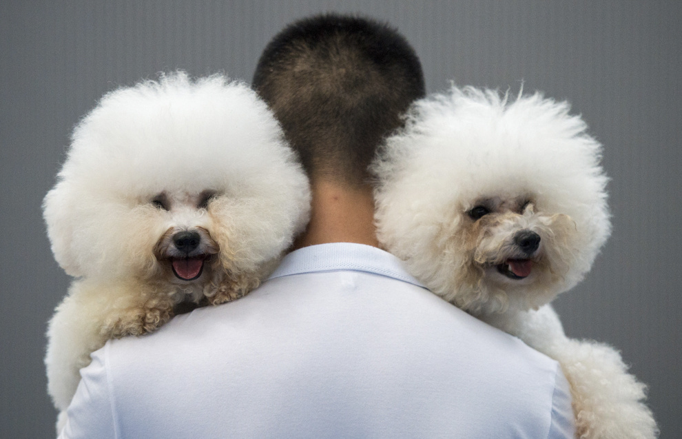 În această imagine din 7 septembrie, în Hangzhou, un bărbat poartă pe umeri doi câini din rasa Bichon Frise, Paopai (S) şi Benzen (D), în timpul unei competiţii canine.