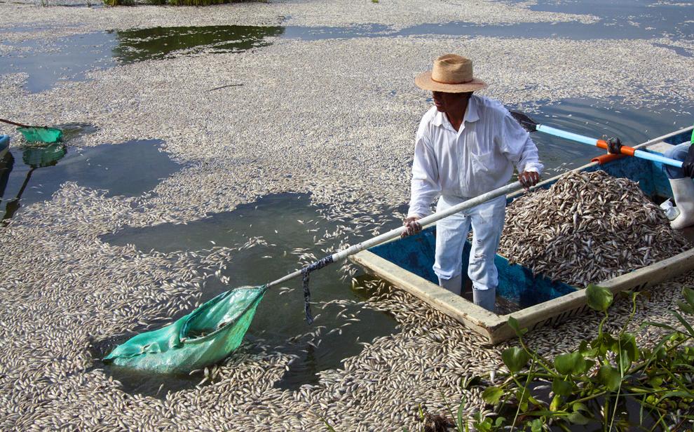 """Pescari adună peşti """"popocha"""" morţi din laguna Cajititlan din Tlajomulco de Zuniga din Mexic, luni, 1 septembrie 2014."""