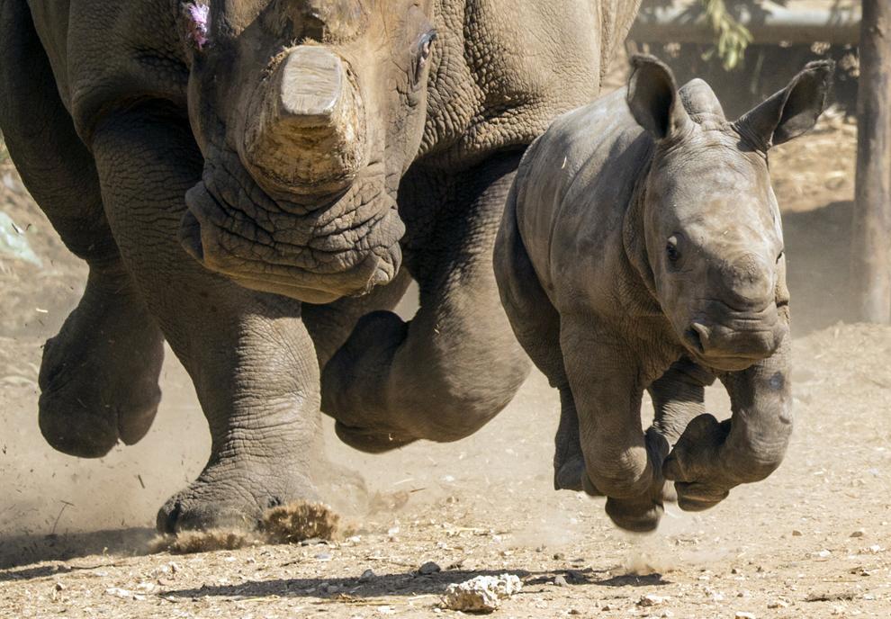 Un pui de rinocer în vârstă de trei săptămâni aleargă împreună cu mama sa Tanda, în gradina zoologică Ramat Gan Safari de lângă Tel Aviv, miercuri, 3 septembrie 2014.