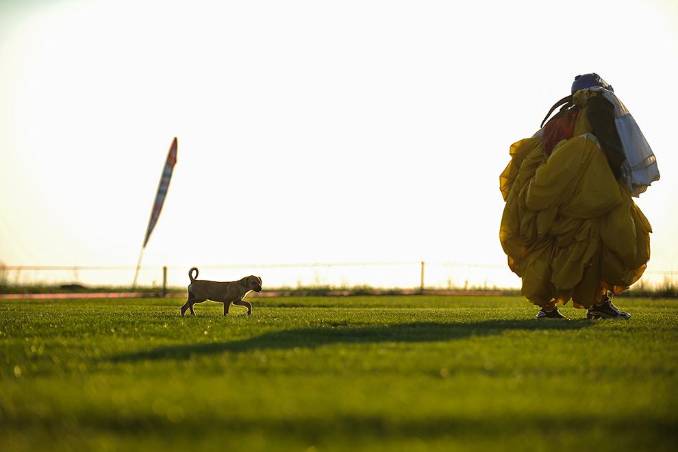Un câine urmează un paraşutist care se întoarce de la punctul de aterizare, pe aerodromul din Clinceni, Ilfov, vineri, 12 septembrie 2014.