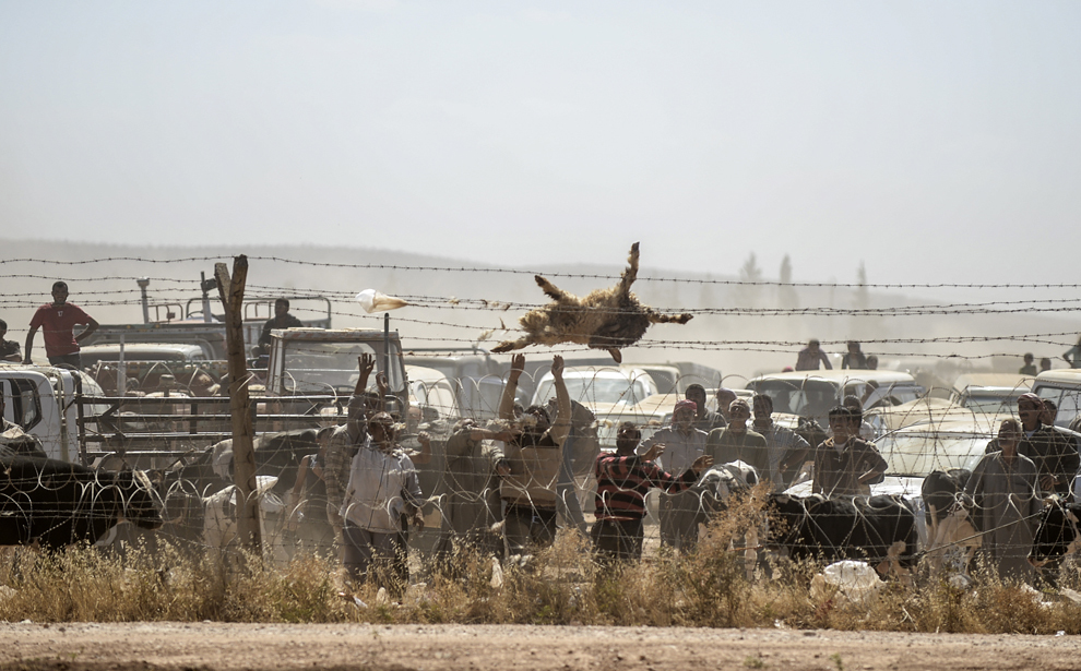 Kurzi sirieni aruncă peste gard cadavrul unei oi, în timpul unui protest cerând apă pentru animalele lor, pe partea siriană a granitei cu Turcia, în oraşul sud-estic Suruc, provincia Sanliurfa, Turcia, marţi, 23 septembrie 2014.