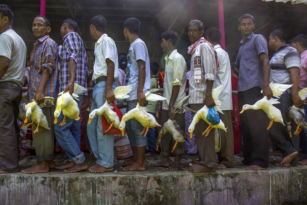 Adepţi hinduşi din India stau în rând cu raţe care urmează să fie sacrificate la templul istoric vechi de 280 ani Devi Dol, construit de regina Madambika, în anul 1734, cu ocazia Maha Asthami în timpul Durga Puja festival în Sivasagar, în estul statului Assam, joi, 2 octombrie 2014.
