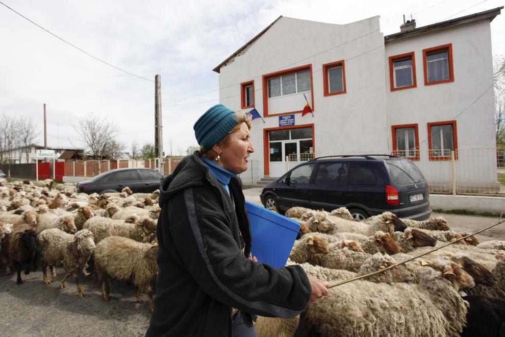 Ioana Toma protestează în curtea primăriei din comuna Cilibia, judeţul Buzău, miercuri, 15 aprilie 2015. Ioana Toma, un crescător de oi din comuna Cilibia, a protestat cu 500 de oi în faţa primăriei din localitate faţă de refuzul primarului Ion Enache de a-i concesiona o bucată din islazul comunal.