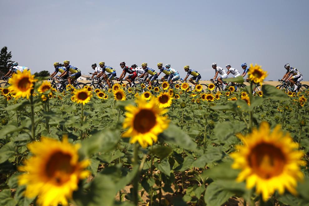 Un grup de ciclişti trece pe lângă un câmp cu floarea soarelui, în timpul celei de-a cincisprezecea etape a Turului Franţei, între Givors şi Mont Ventoux, sud-estul Franţei, duminică, 14 iulie 2013.