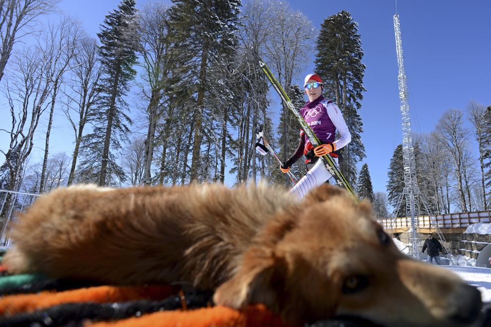Un câine se odihneşte la soare, în timpul unui antrenament neoficial de schi fond, înaintea deschiderii Jocurilor Olimpice de Iarnă, în Rosa Hutor, Rusia, miercuri, 5 februarie 2014.
