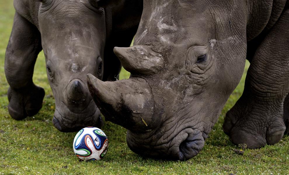 Doi rinoceri se joacă cu o minge de fotbal în interiorul ţarcului lor din Serengeti Park, în Hodenhagen, centrul Germaniei, pe 13 aprilie 2014.