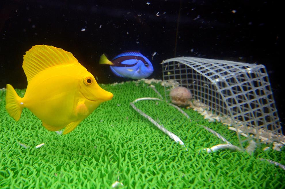 Doi peşti iau mâncare dintr-un recipient ăn formă de minge, într-un acvariu decorat precum un teren de fotbal, la acvariul Hakkeijima Sea Paradise din Yokohama, suburbia oraşului Tokyo, Japonia, pe 15 iunie June 20013.