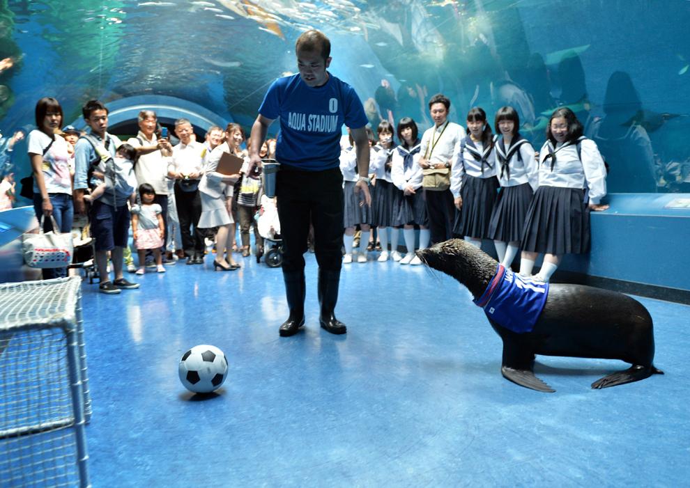 Un leu de mare loveşte o minge, în timp ce antrenorul său priveşte, în timpul unui eveniment de susţinere a naţionalei japoneze de fotbal, la complexul Shinagawa Aqua Stadium, în Tokyo, marţi, 3 iunie 2014.