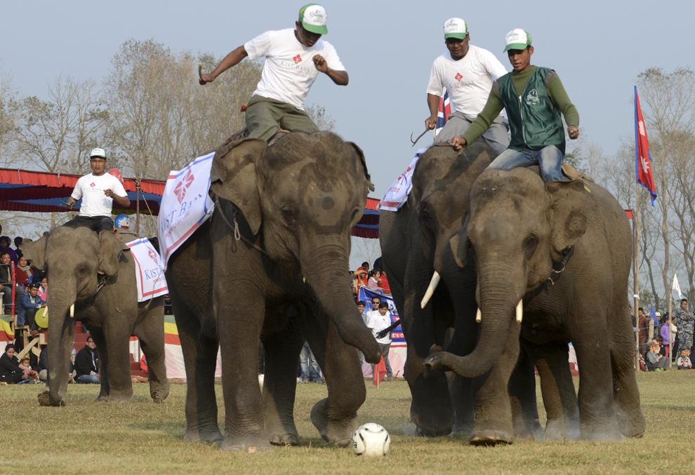 Conducători de elefanţi (mahout) îşi ghidează pachidermele în timpul unui meci de fotbal cu elefanţi la Sauraha, în Chitwan, circa 150 km sud-vest de Kathmandu, în timpul Elephant Festivalul Chitwan, la 28 decembrie 2013.