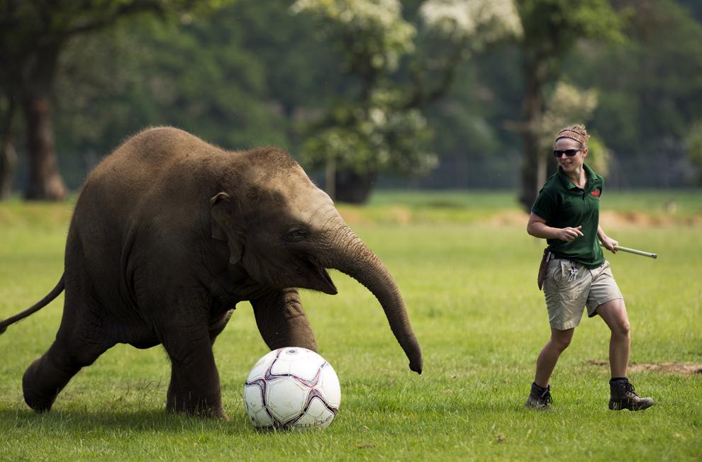 Elizabeth Fellows joacă fotbal cu Donna, un elefant în vârstă de doi ani, la Whipsnade Zoo, lângă Dunstable, centrul Angliei, pe 28 mai 2012.