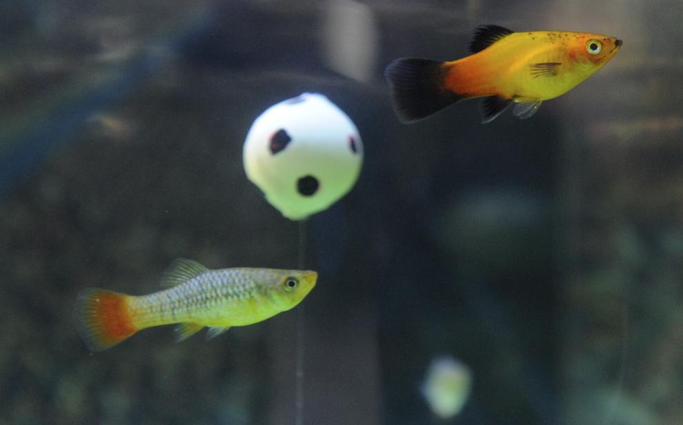 Peşti Platy ale căror culori sunt similare cu cele ale steagului Germaniei, înoată în jurul unei mingi de fotbal, într-un acvariu dintr-un magazin de animale de companie, în Kiel, nordul Germaniei, la 15 iunie 2012.