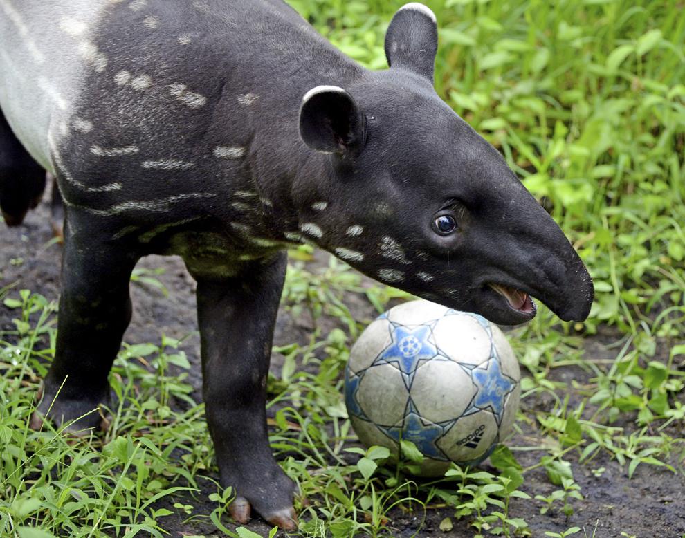 Puiul de tapir Baru se joacă cu o minge, la gradina zoologică din Leipzig, în estul Germaniei, la 22 mai 2013.