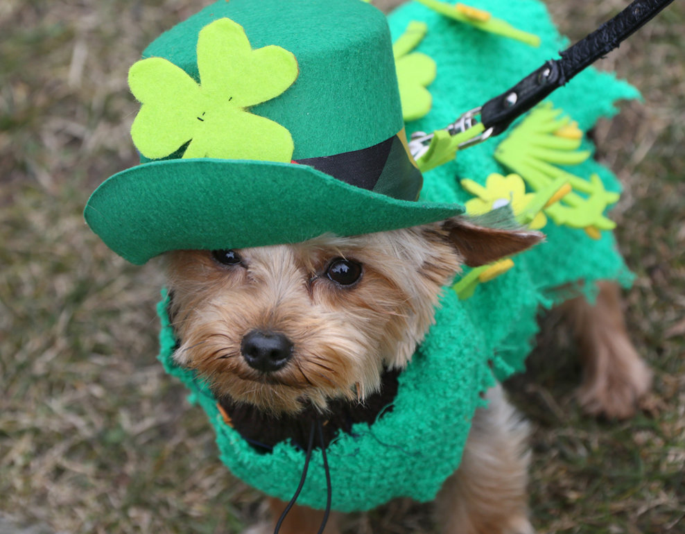 """Câinele """"Mixie"""" este îmbrăcat în haine în culorile Irlandei în timp ce participă la sărbătoarea Sfântului Patrick, în Berlin, duminică 17 martie 2013."""