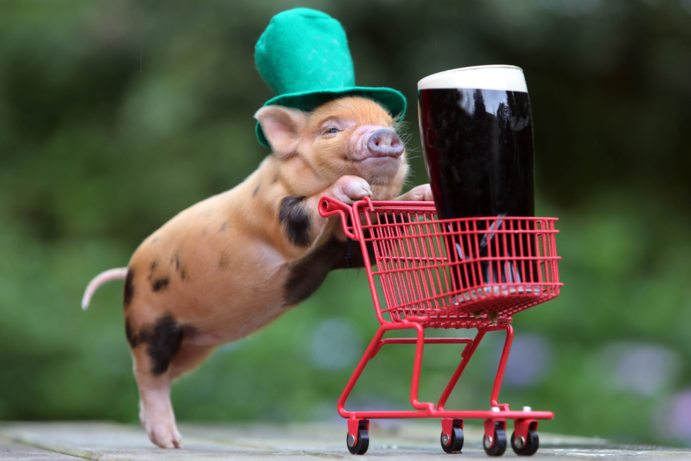 Un porcuşor purtând o pălărie de culoare verde împinge un cărucior de cumpărături în miniatură în care se află un pahar cu bere Guinness, în Marea Britanie, joi 14 martie 2013.