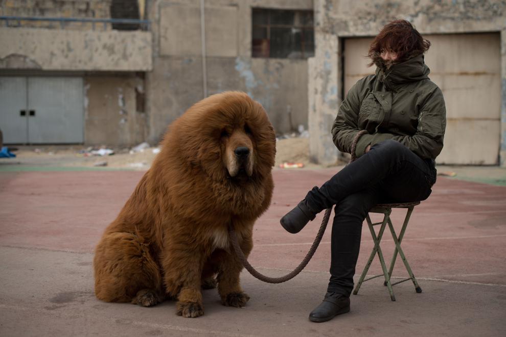 Un câine mastiff tibetan este expus pentru vânzare în timpul unui eveniment desfăşurat în Baoding, provincia Hebei, la sud de Beijing, sâmbătă 9 martie 2013.