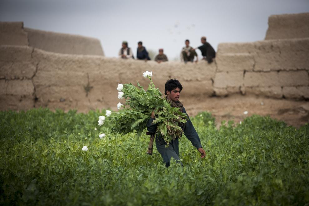 Un poliţist afgan aduna plante de mac din care se extrage opiul, dupa distrugerea unei plantaţii dintr-o fermă din satul Babaji, provincia Helmand, Afganistan, joi, 14 martie 2013.