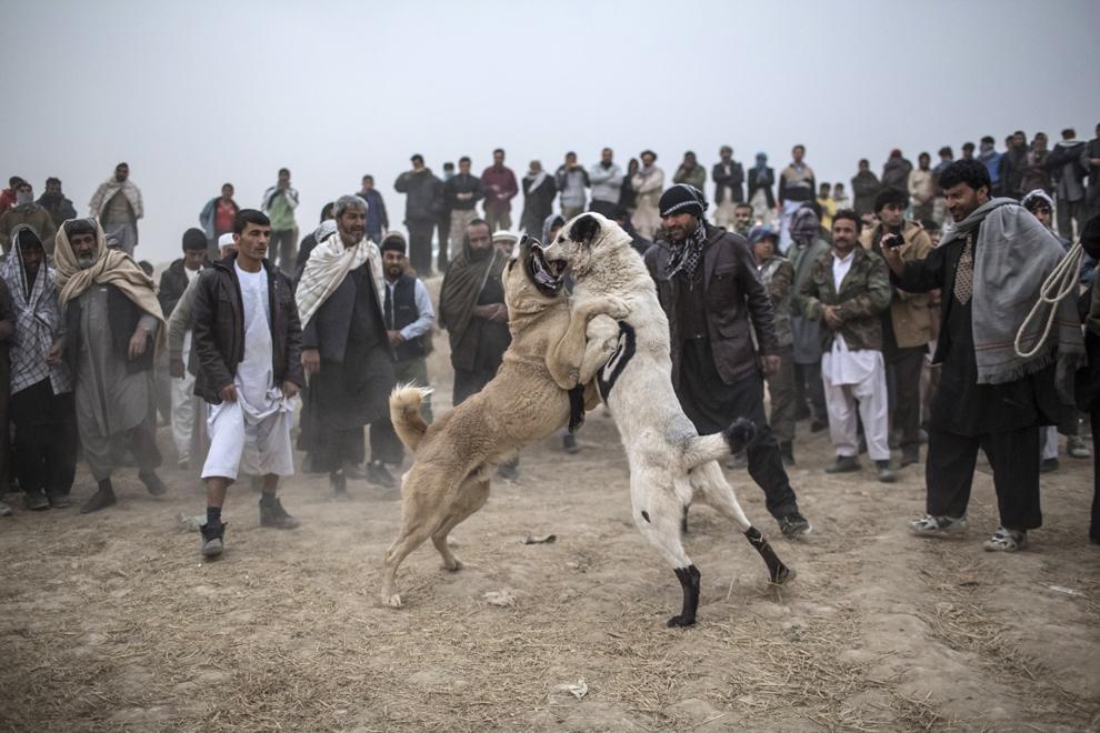 Spectatori afgani privesc doi câini din rasa Mastiff ce se atacă reciproc, în timpul unui meci săptămânal, în Kabul, Afganistan, vineri, 16 noiembrie 2012.
