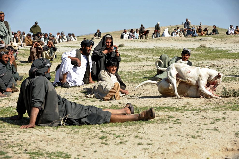 Spectatori afgani privesc doi câini ce se atacă reciproc în timpul unui meci săptamânal de lupte de câini, la periferia oraşului Kandahar, vineri, 15 martie 2013.