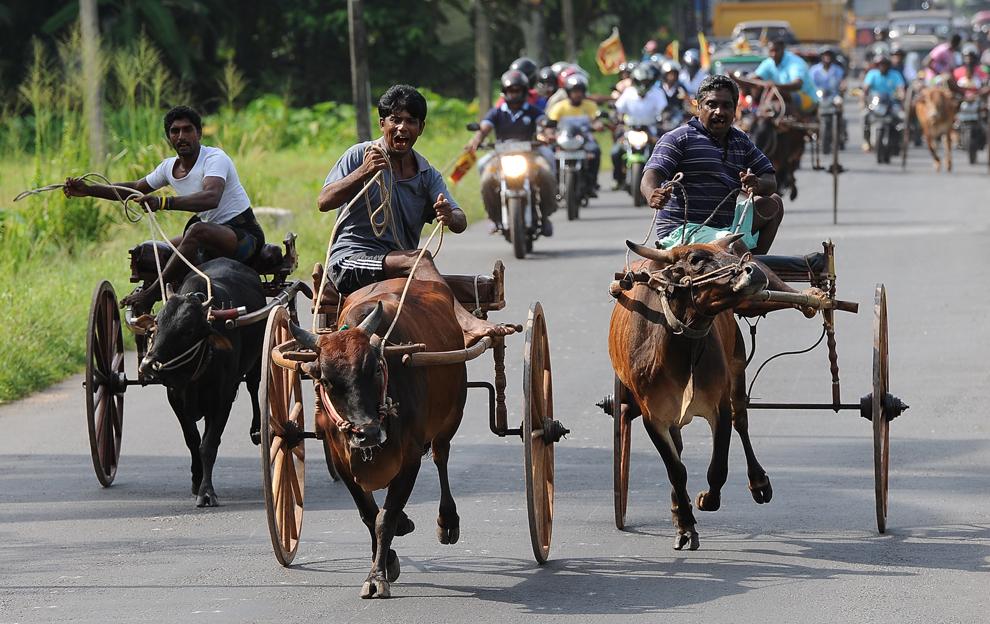 Trei bărbaţi  participă la o cursă tradiţională de căruţe, în Horana, Colombo, Sri Lanka,  sâmbătă, 27 aprilie 2013.