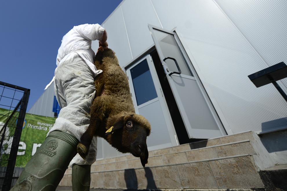 Un cioban duce un miel spre a fi sacrificat în interiorul abatorului amenajat în cadrul Pieţei Apărătorii Patriei din Bucureşti, miercuri, 24 aprilie 2013.