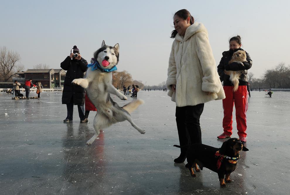 Câinele husky Hali prinde o minge în timpul unei plimbări pe gheaţa lacului Houhai, în timpul sărbătorii Anului Nou lunar, la începutul Anului Dragonului, în Beijing, vineri, 27 ianuarie 2012.