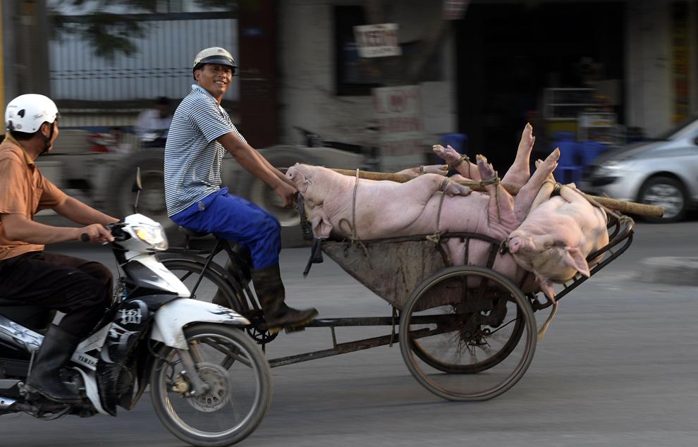 O fotografie realizată luni, 27 mai 2013, înfăţişează un bărbat transportând mai mulţi porci vii cu o ricşă, în oraşul Haiphong de pe coasta nordică a Vietnamului, luni, 27 mai 2013.