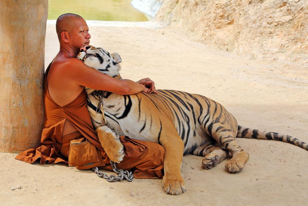 Un calugăr se odihneşte ţinând în braţe un tigru, în Templul Tigrilor din Kanchanaburi, duminică, 26 mai 2013. Templul budist a fost fondat in 1994, primul pui de tigru fiind primit 5 ani mai tarziu. De atunci a devenit o atracţie turistică, vizitatorii putând vedea şi fotografia animalele.