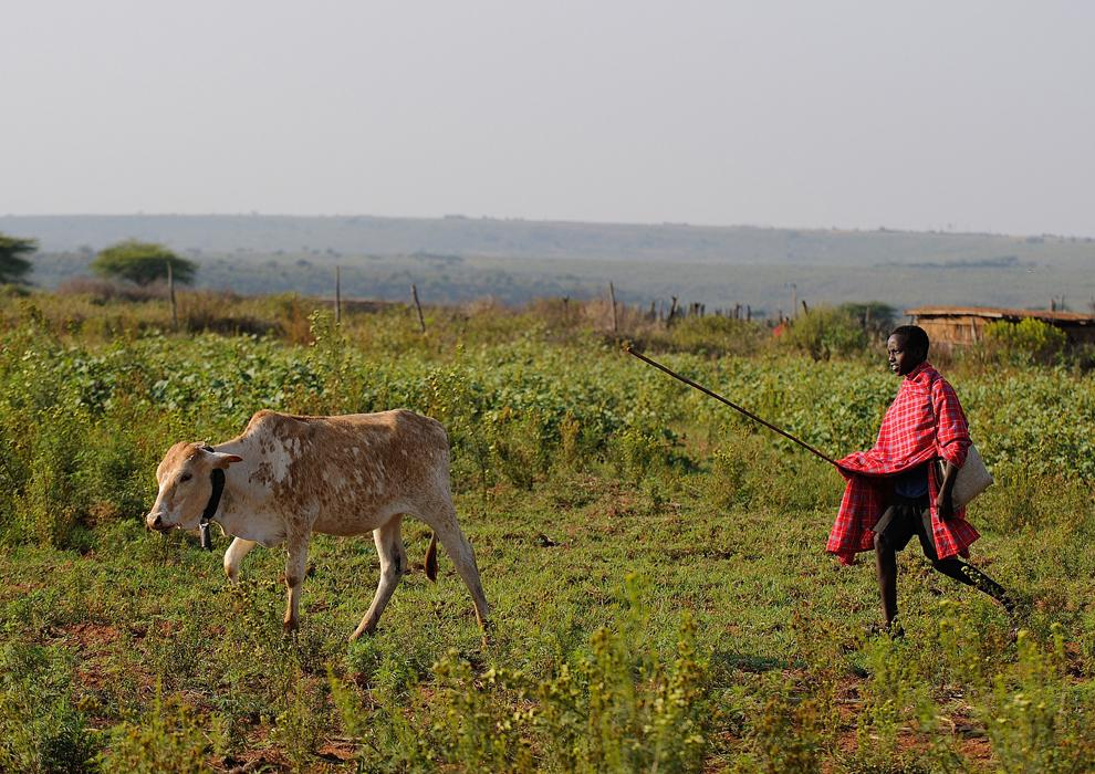 Kelvin Leadismo, 12 ani, cu ghiozdanul în spate, are grijă de vacile familiei lângă casa sa din ţinutul Samburu, nordul Kenyei, miercuri, 17 iulie 2013.