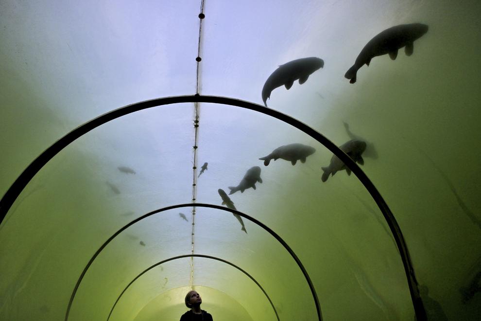 Un copil ce stă într-un tunel transparent  construit într-un lac din Madra, priveşte un banc de peşti, în Cehia, luni, 30 septembrie 2013.