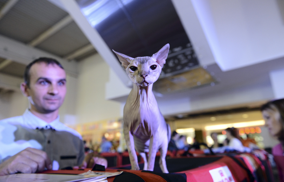 O pisică din rasa Sphynx aşteaptă să fie evaluată în cadrul expoziţiei internaţionale de pisici Starkatz, în Bucureşti, sâmbătă, 28 septembrie 2013.