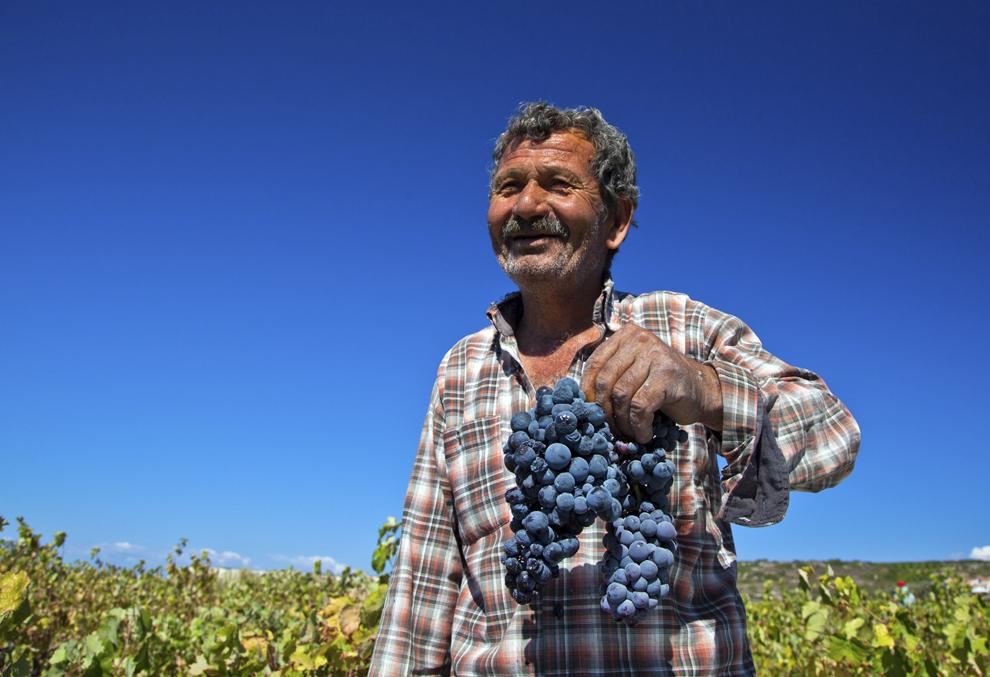 Un muncitor adună struguri, în timpul unei recolte la o podgorie de pe insula Bozcaada din Turcia, miercuri,  4 septembrie 2013.