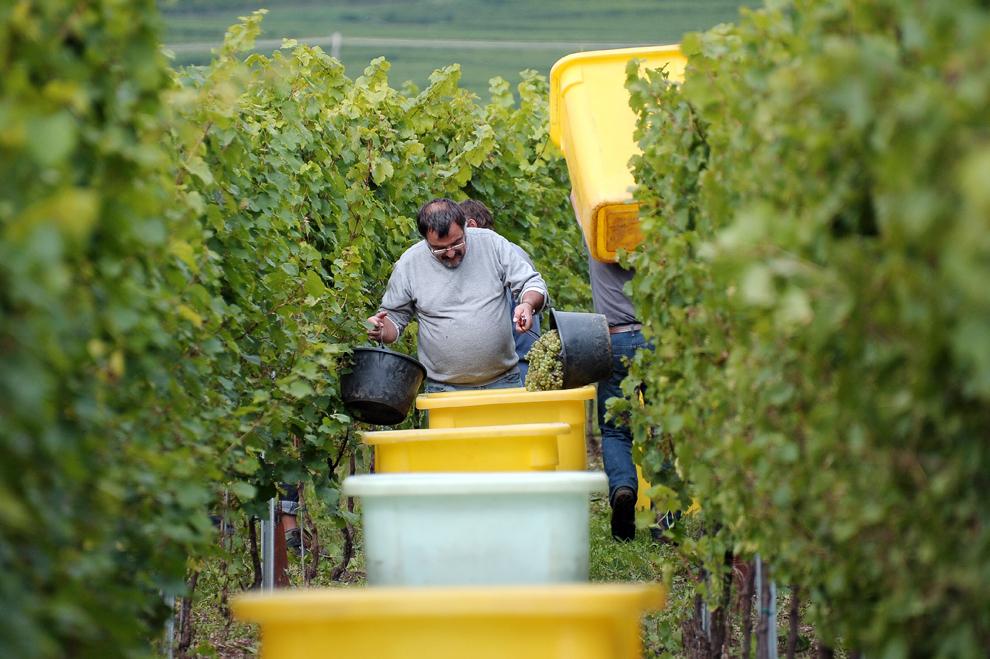 Lucrători adună struguri la începutul recoltei de struguri, joi, 19 septembrie 2013, în Ingersheim, Franţa. Strugurii vor fi folosiţi la producerea unui vin spumant numit Crémant.