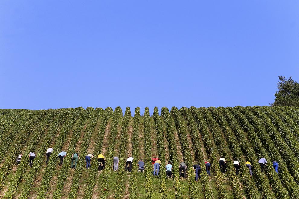 Oameni iau parte la culesul strugurilor pe podgoria producătorului Champagne Koza-Janot, marţi, 24septembrie 2013, în Buxeuil, Franţa.
